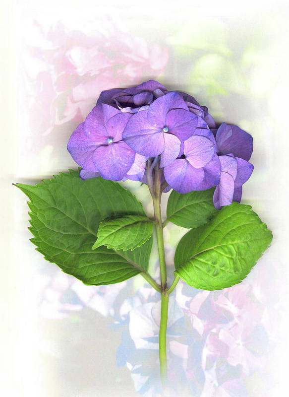 Purple Poster featuring the mixed media Purple Hydrangea by Sandi F Hutchins
