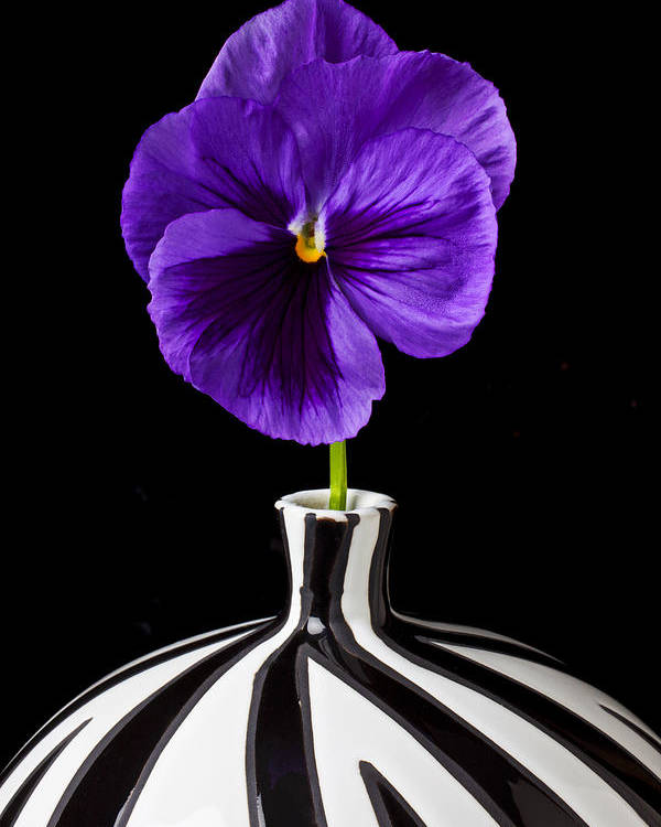 Purple Poster featuring the photograph Purple Pansy by Garry Gay