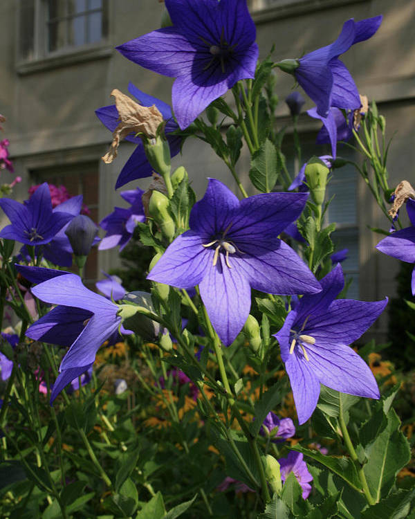 Flowers Poster featuring the photograph Purple Stars by Alan Rutherford