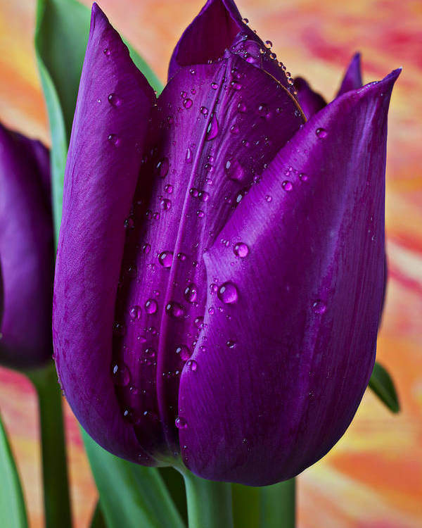 Purple Tulip Poster featuring the photograph Purple Tulip by Garry Gay