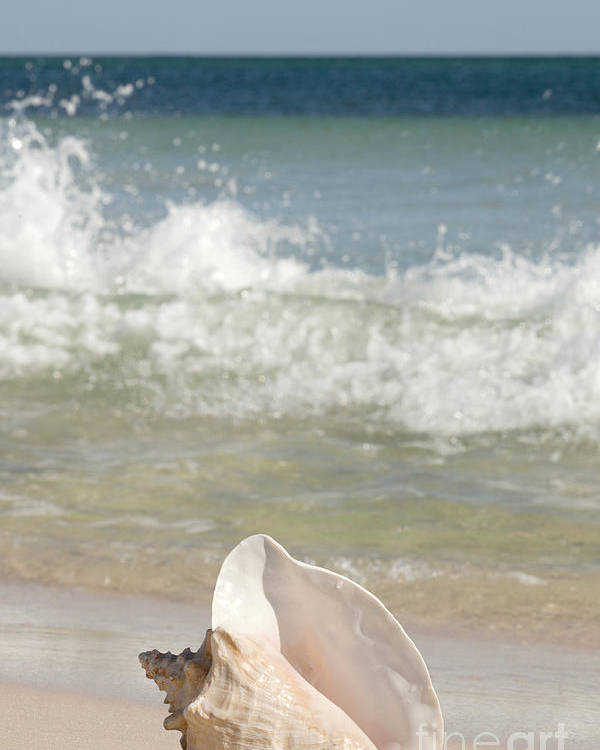 Queen Conch Poster featuring the photograph Queen Conch On The Beach by Anthony Totah