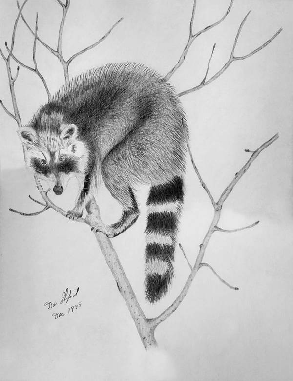 Dan Shuford Poster featuring the drawing Raccoon Treed by Daniel Shuford