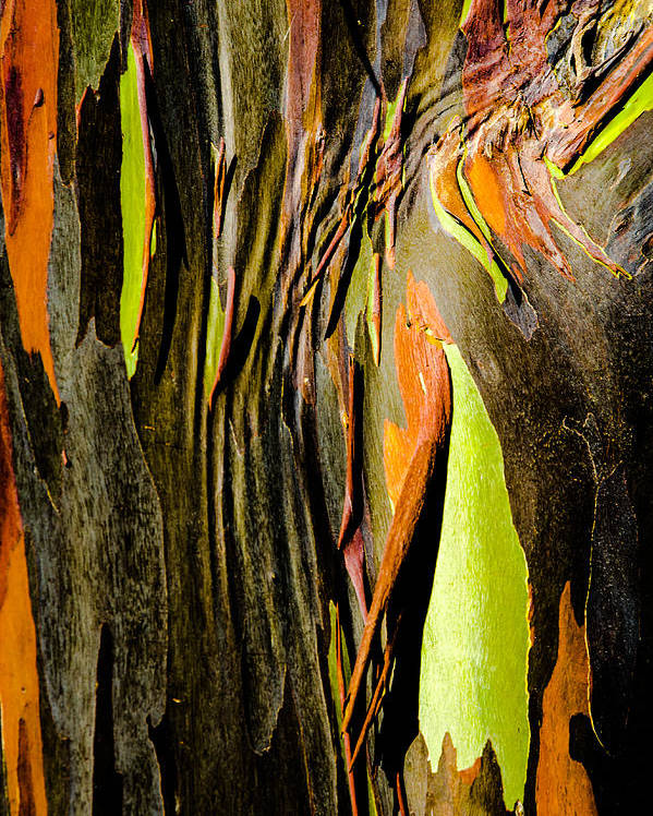 Hawaii Poster featuring the photograph Rainbow Eucalyptus Bark by Alan Hart