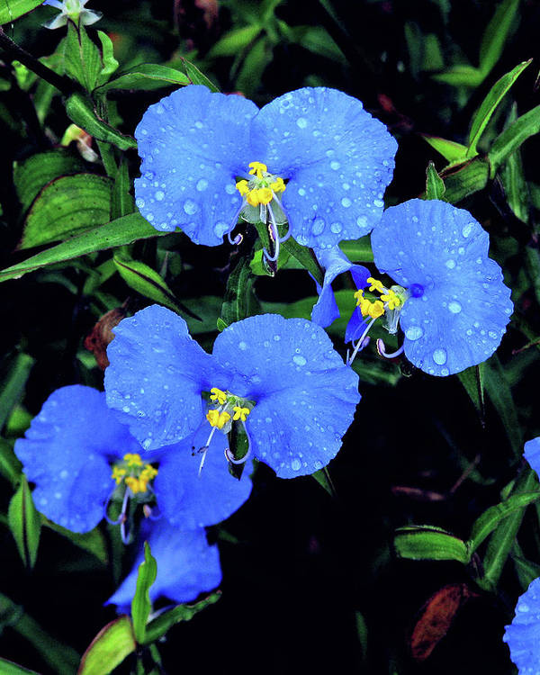 Nature Poster featuring the photograph Raindrops In Blue by Peg Urban