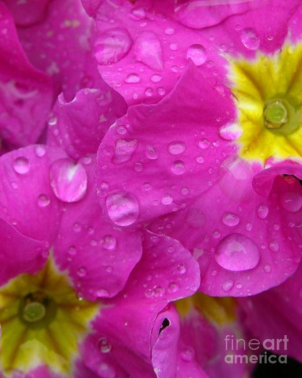 Pink Poster featuring the photograph Raindrops On Pink Flowers by Carol Groenen