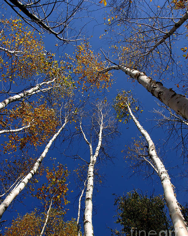 Trees Poster featuring the photograph Reach For The Sky by Steve Augustin