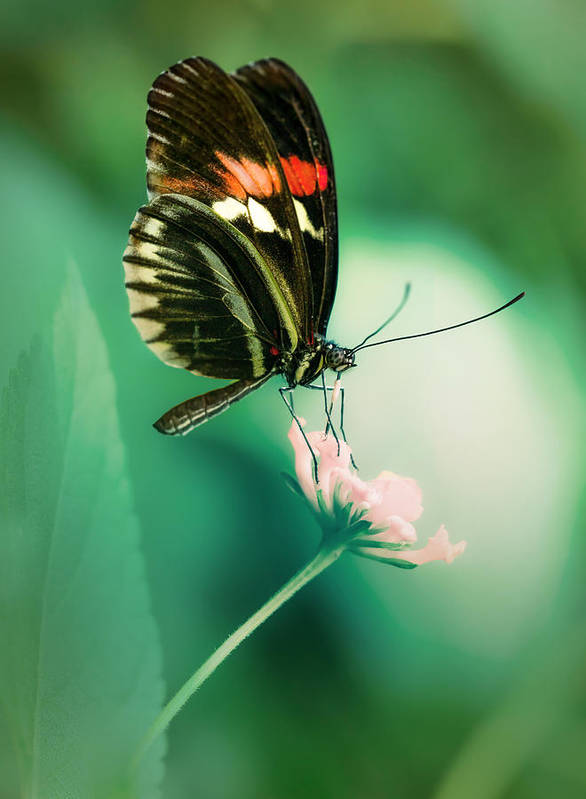Butterfly Poster featuring the photograph Red And Black Butterfly On White Flower by Jaroslaw Blaminsky