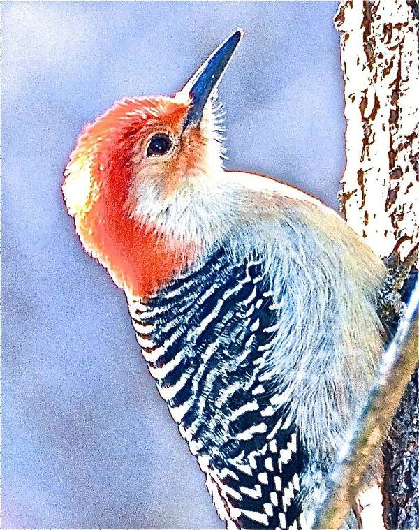 Red Bellied Woodpecker Poster featuring the photograph Red Bellied Woodpecker by Danielle Sigmon