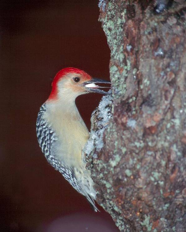 Bird Poster featuring the photograph Red-bellied Woodpecker by Raju Alagawadi