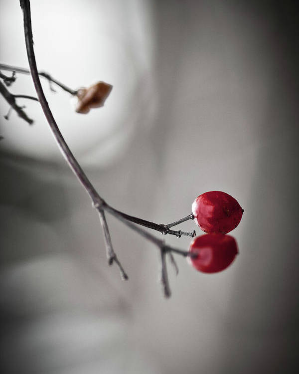 Plant Poster featuring the photograph Red Berries by Mandy Tabatt