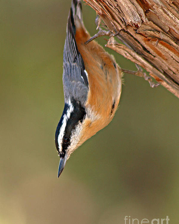 Nuthatch Poster featuring the photograph Red-breasted Nuthatch Upside Down by Max Allen