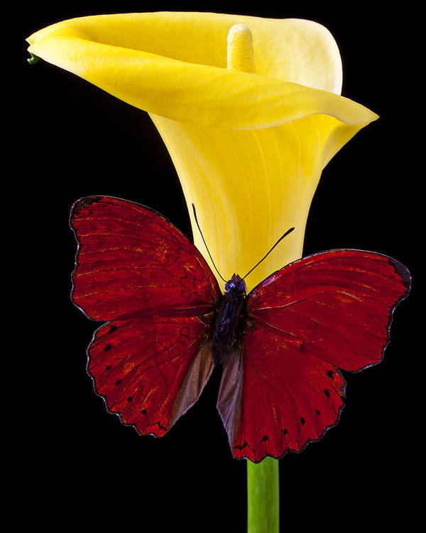 Red Butterfly Poster featuring the photograph Red Butterfly And Calla Lily by Garry Gay