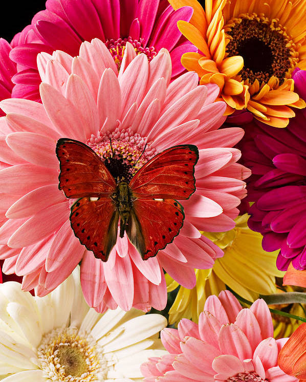Butterfly Daisy Wings Flower Flowers Petal Petals Floral Poster featuring the photograph Red Butterfly On Bunch Of Flowers by Garry Gay