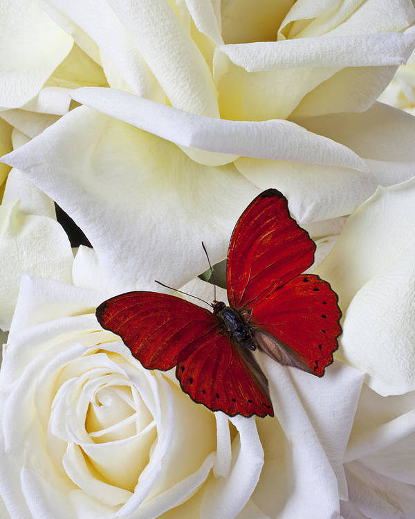 Red Poster featuring the photograph Red Butterfly On White Roses by Garry Gay