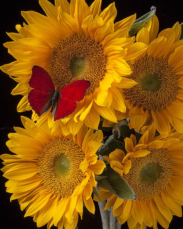 Four Poster featuring the photograph Red Butterfly With Four Sunflowers by Garry Gay