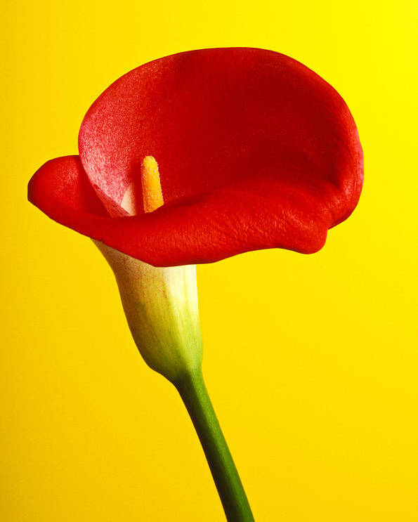 Red Yellow Flower Flowers Calla Lily Lilies Stem Yellow Graphic Design Bright Color Colors Colour Colours Colorful Distinctive Lilum Lilys Arum Bulb Close Up Detail Details Beauty Nature Beautiful Blossom Delicate Fragile Growing Vertical Plant Plants Concepts Decoration Bloom Blooming Botanical Floral Horticulture Floriculture Blossoming Flowering Petal Serenity Stamen Majestic Grow Unusual Poster featuring the photograph Red Calla Lilly by Garry Gay