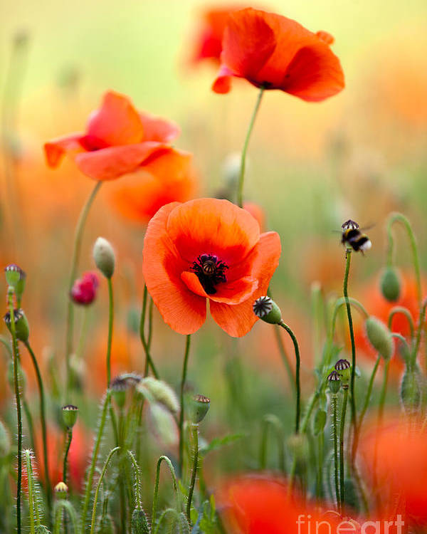Poppy Poster featuring the photograph Red Corn Poppy Flowers 06 by Nailia Schwarz