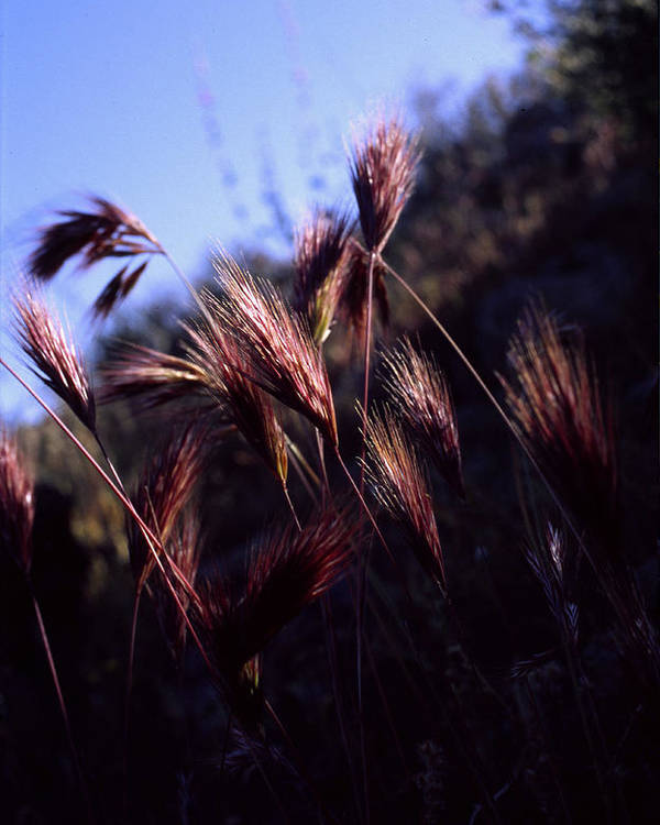 Nature Poster featuring the photograph Red Feathers by Randy Oberg