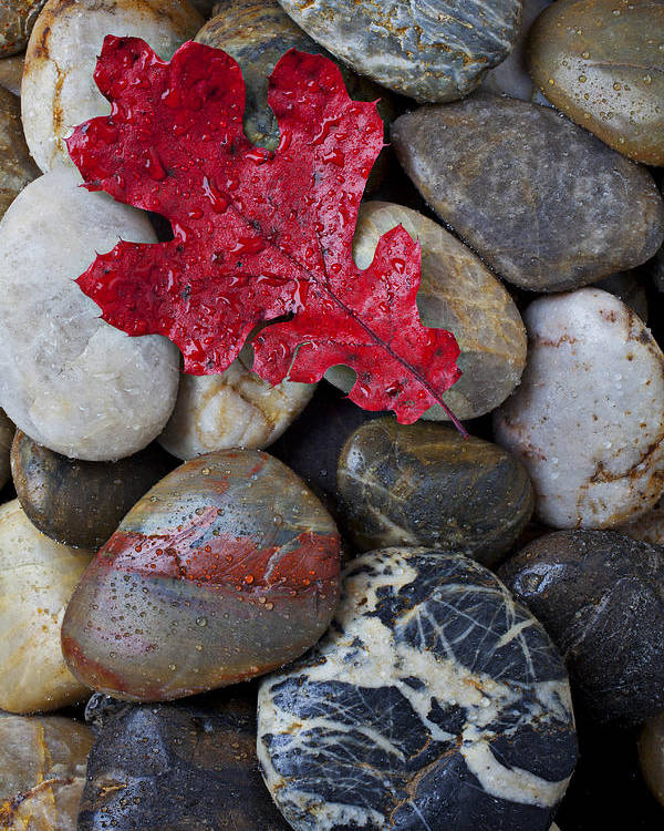 Red Leaf Poster featuring the photograph Red Leaf Wet Stones by Garry Gay