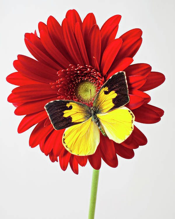 Red Mum Dogface Butterfly Chrysanthemums Poster featuring the photograph Red Mum With Dogface Butterfly by Garry Gay