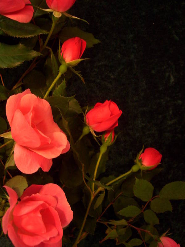 Red Roses Soddenly Appears. Poster featuring the photograph red by Nereida Slesarchik Cedeno Wilcoxon