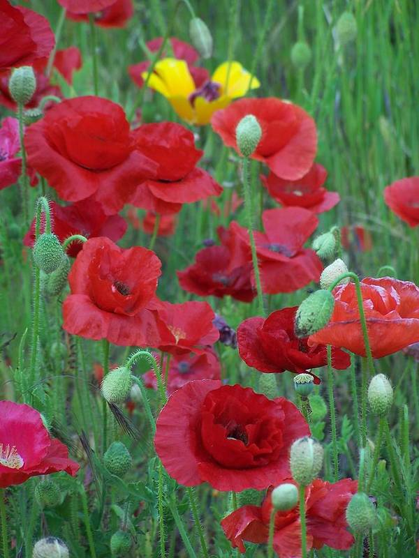 Red Poppies Poster featuring the photograph Red Poppies by Gene Ritchhart