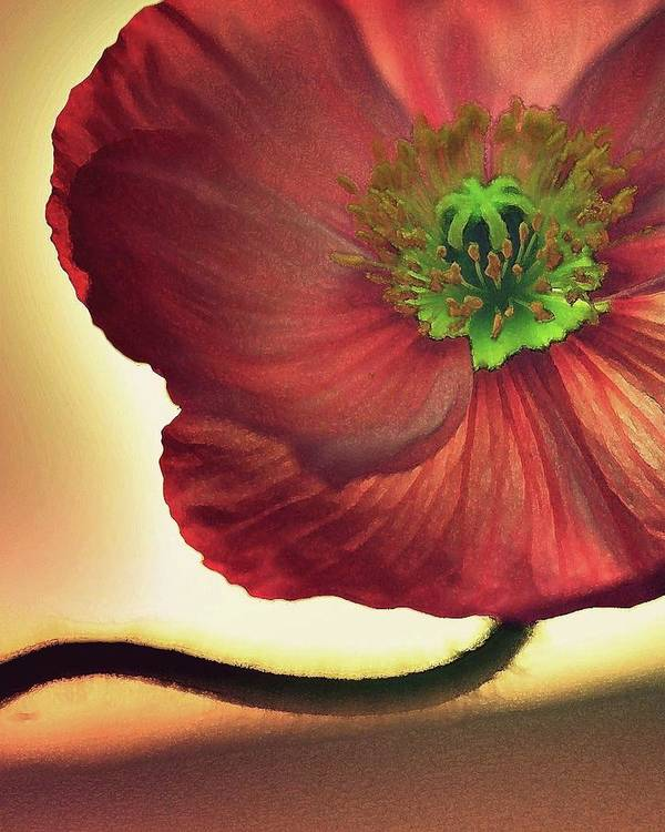 Poppies Poster featuring the photograph Red Poppy by Amy Neal