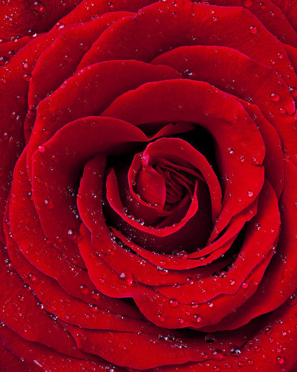 Red Poster featuring the photograph Red Rose With Dew by Garry Gay