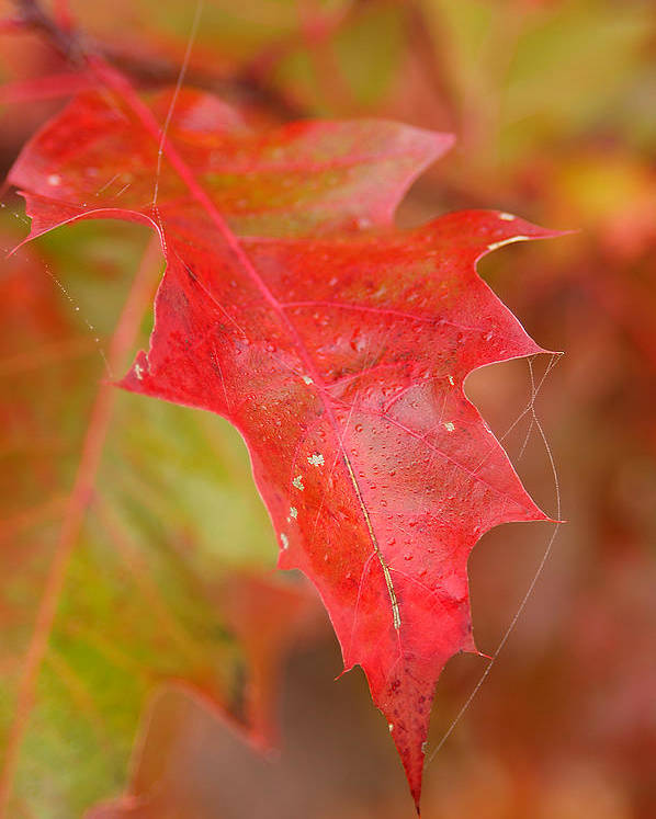 Oak Leaves Poster featuring the photograph Red Silk by Linda McRae