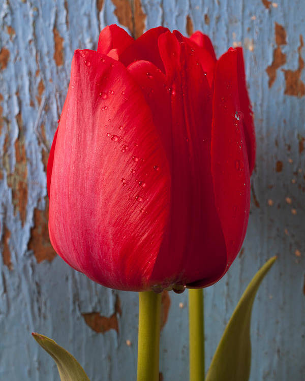 Red Poster featuring the photograph Red Tulip by Garry Gay