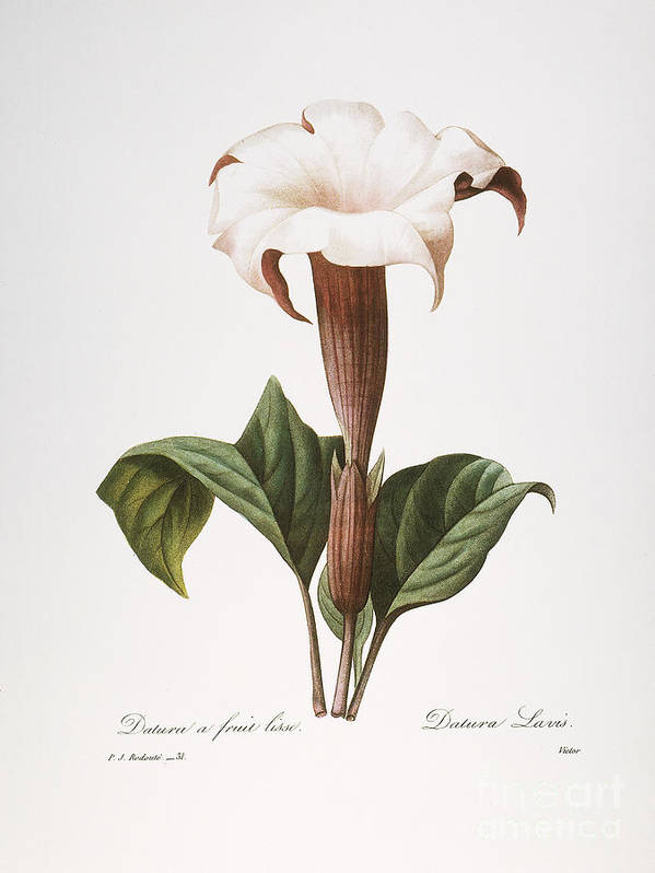 1833 Poster featuring the photograph Redoute: Datura, 1833 by Granger