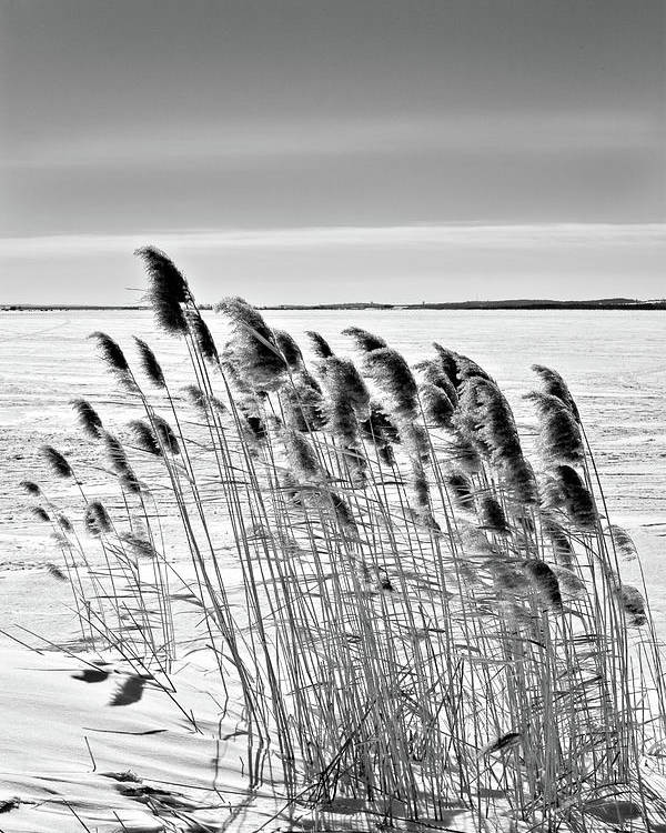 Black And White Poster featuring the photograph Reeds On A Frozen Lake by Peter Pauer