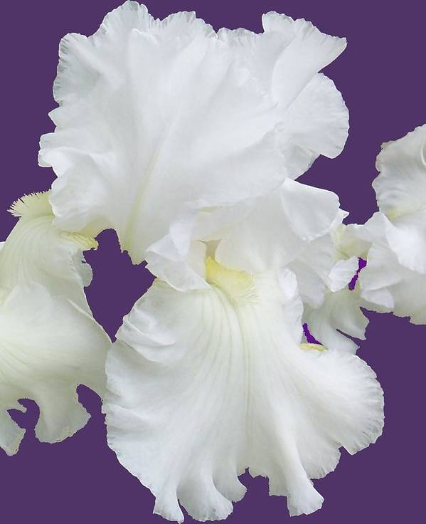 Iris Poster featuring the photograph Regal Iris by Ellen B Pate