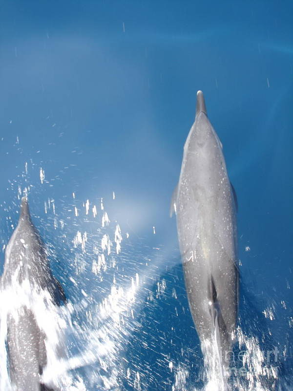 Dolphins Poster featuring the photograph Riding the Bow by Chad Natti