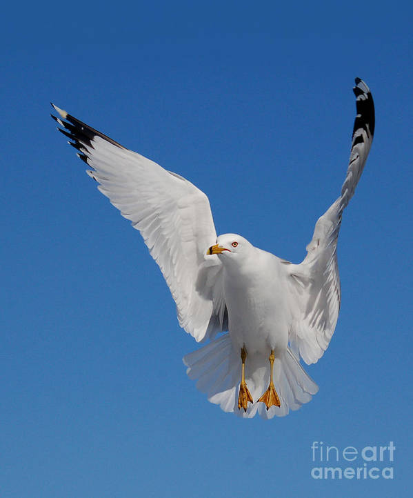 Animal Poster featuring the photograph Ring Billed Gull In Flight by Mircea Costina Photography