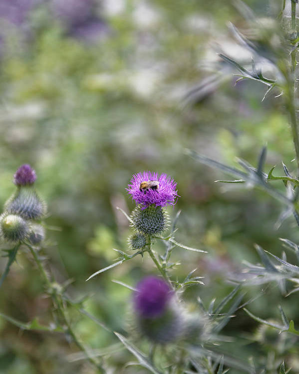 Autumn Poster featuring the photograph Roadside Thistle Bee Polination by Adrian Bud
