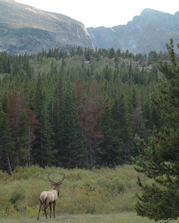 Elk Poster featuring the photograph Rocky Mountain Elk by Kathy Schumann