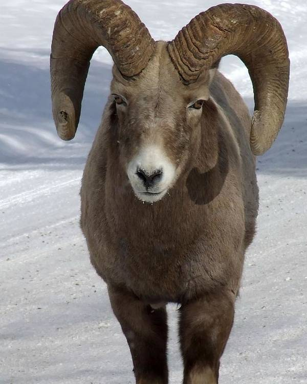 Bighorn Ram Poster featuring the photograph Rocky Mountain Ram In Winter by Tiffany Vest