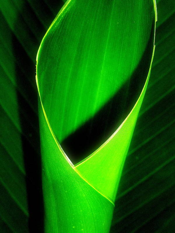 Rolled Canna Leaf Poster featuring the photograph Rolled Canna Leaf by Beth Akerman