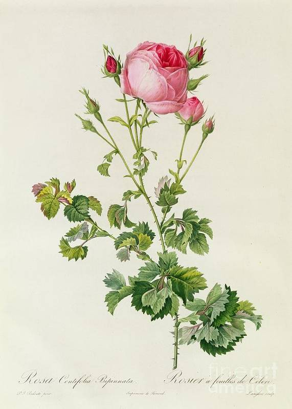 Rosa Poster featuring the painting Rosa Centifolia Bipinnata by Pierre Joseph Redoute