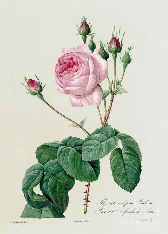 Rosa Poster featuring the drawing Rosa Centifolia Bullata by Pierre Joseph Redoute