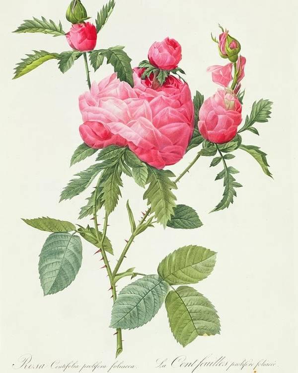 Rosa Poster featuring the drawing Rosa Centifolia Prolifera Foliacea by Pierre Joseph Redoute