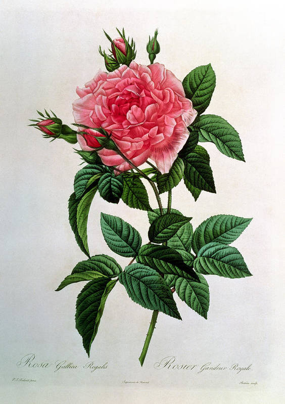Rosa Poster featuring the drawing Rosa Gallica Regallis by Pierre Joseph Redoute