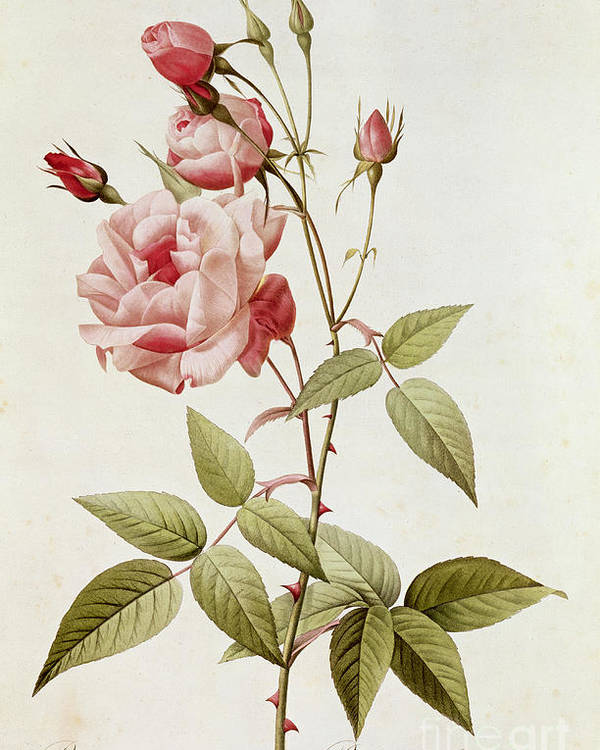 Rosa Poster featuring the painting Rosa Indica Vulgaris by Pierre Joseph Redoute
