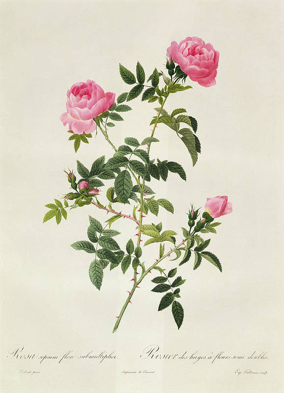 Rosa Poster featuring the drawing Rosa Sepium Flore Submultiplici by Pierre Joseph Redoute
