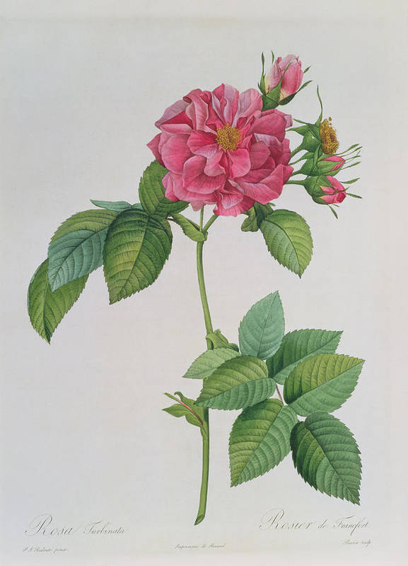 Rosa Poster featuring the drawing Rosa Turbinata by Pierre Joseph Redoute