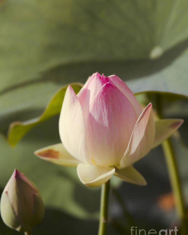The Sacred Lotus Poster featuring the photograph Sacred Lotus - Nelumbo by Sharon Mau