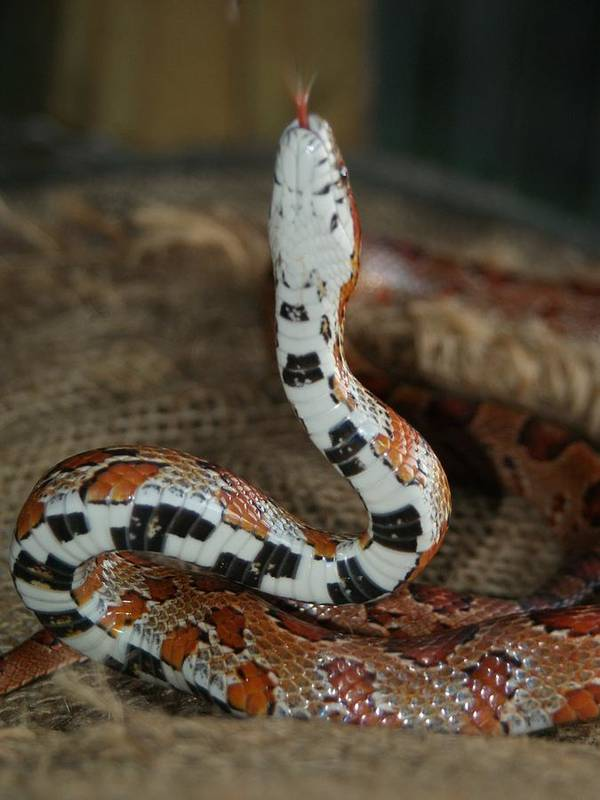 Corn Snake Poster featuring the photograph Saddle Pad Surprise by Lynda Dawson-Youngclaus