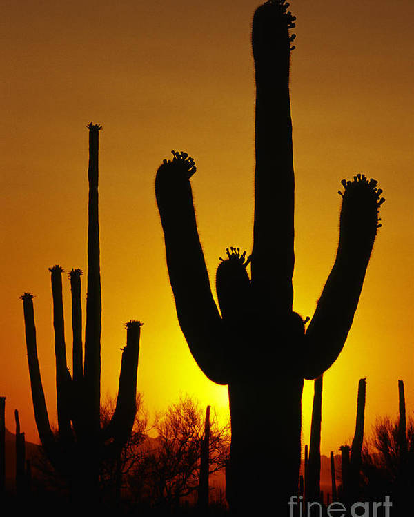 Southwest Poster featuring the photograph Saguaro Sunset by Sandra Bronstein