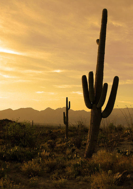 Saguaro National Park Poster featuring the photograph Saguaros At Sunset by Brian M Lumley